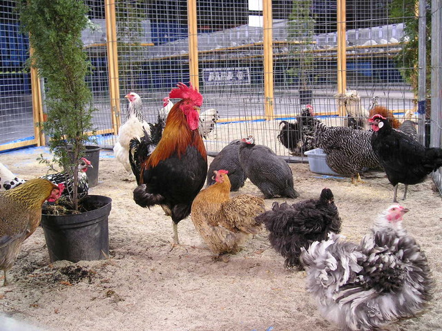 backyard poultry farm