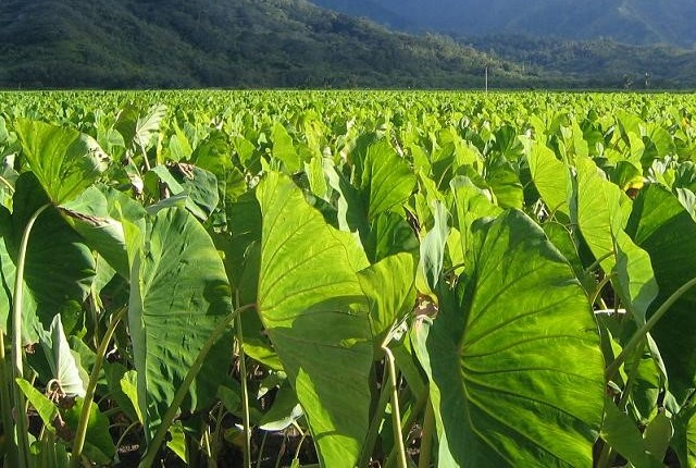 taro or arbi leaves