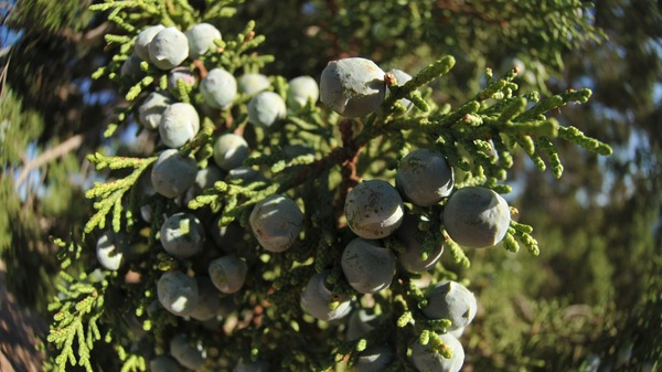 growing commercial blueberries
