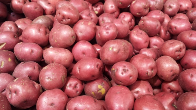 harvested organic potatoes