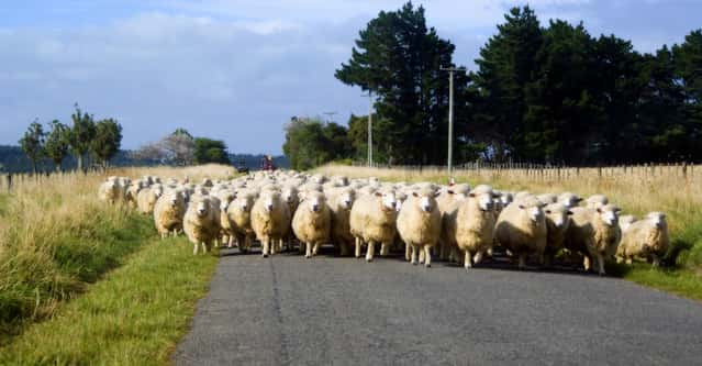 sheep farming business